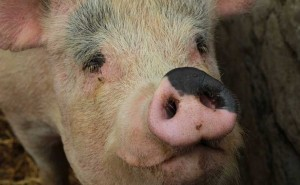 corporate-pig